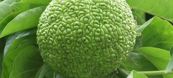Адамово яблоко (маклюра) при варикозе