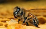 Лучшие рецепты и методы лечения варикоза пчелами