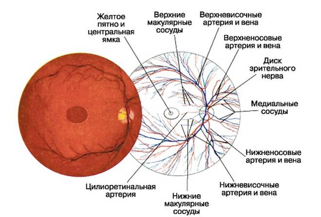 Вены глаза