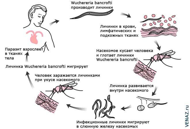Механизм заражения и развития Wuchereria bancrofti