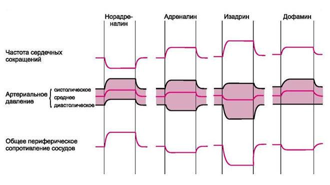 Влияние гормонов на сердечно-сосудистую систему