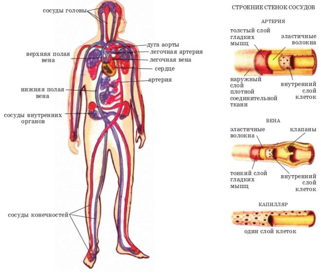 Система кровообращени человека