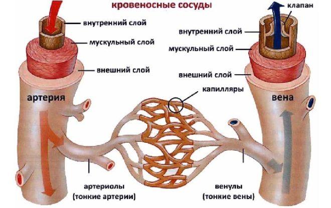 krovenosniicocudi