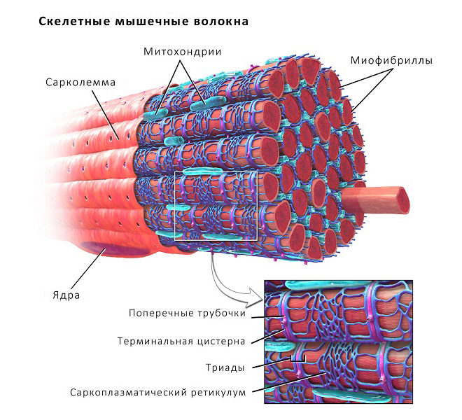 Строение мышцы
