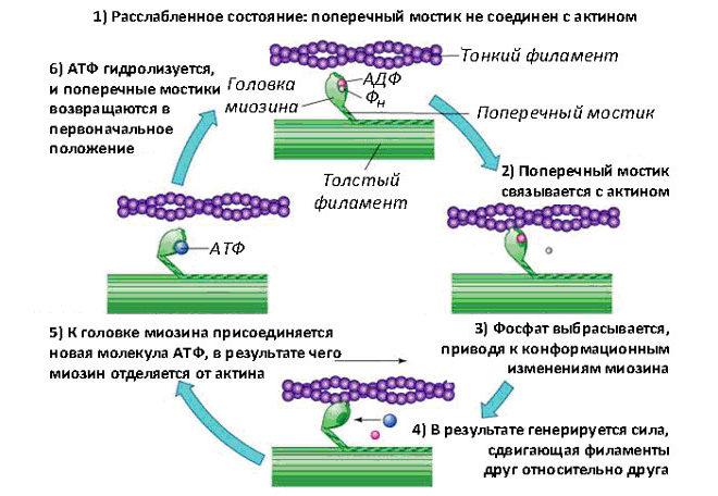 Механизм сокращения мышцы